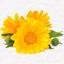 Sušený květ měsíčku lékařského